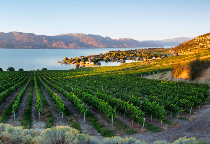 A vineyard just off the shore on Okanagan Lake